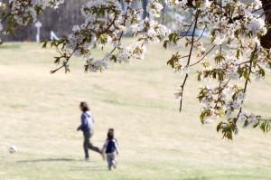 桜の枝と芝生で走る親子の写真